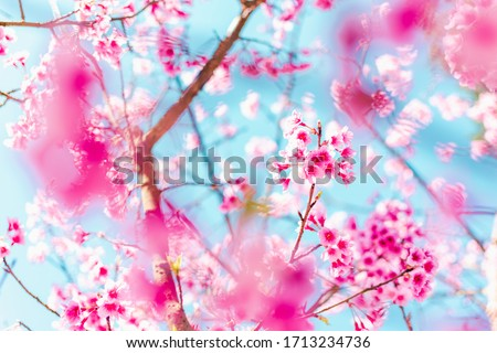 Soft focus Cherry Blossom or Sakura flower on blue sky background with nature sun light, Pink flowers. #1713234736