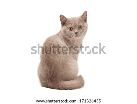 small lilac british kitten on  white background #171326435