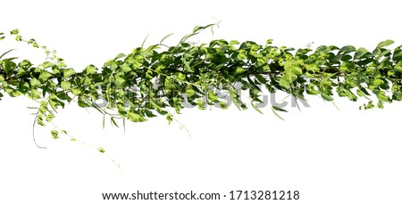 ivy plant on electric wire isolate on white background #1713281218