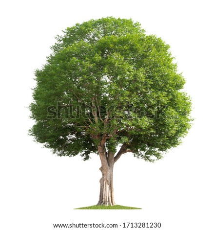big tree isolate on white background #1713281230