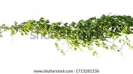 ivy plant on electric wire isolate on white background #1713281236