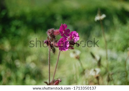 Silene viscaria, the sticky catchfly or clammy campion, is a flowering plant in the family Caryophyllaceae. contains a relatively high amount of brassinosteroids. Selective focus of plant image. #1713350137