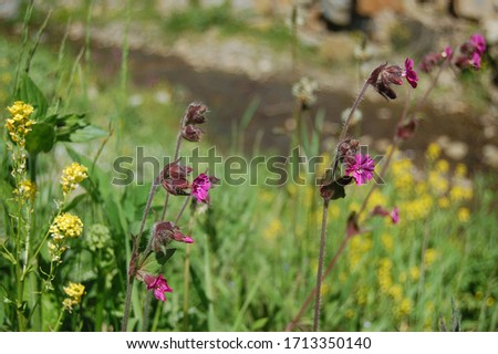 Silene viscaria, the sticky catchfly or clammy campion, is a flowering plant in the family Caryophyllaceae. contains a relatively high amount of brassinosteroids. Selective focus of plant image. #1713350140