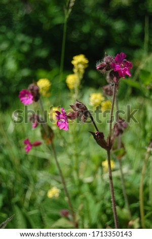 Silene viscaria, the sticky catchfly or clammy campion, is a flowering plant in the family Caryophyllaceae. contains a relatively high amount of brassinosteroids. Selective focus of plant image. #1713350143