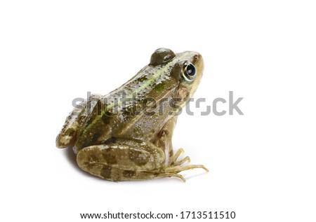 Young Marsh Frog isolated on white background, Pelophylax ridibundus #1713511510