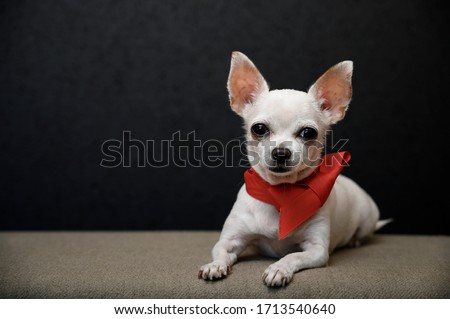 A beautiful young chihuahua dog lies on a gray sofa with a bright red ribbon tied around its neck in the form of a tie and carefully looks straight ahead. Close-up, studio, black background.