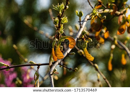 Acer maple saccharin branch with of yellow seeds on blurry dark background. Selective focus. Young seeds on maple branches of Acer saccharinum without leaves. Spring day. Nature concept for design. #1713570469