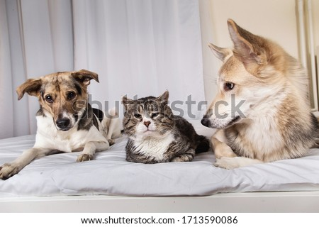 Adorable tranquil mixed breed dogs and cat looking aside while resting on bed covered white sheet in living room #1713590086