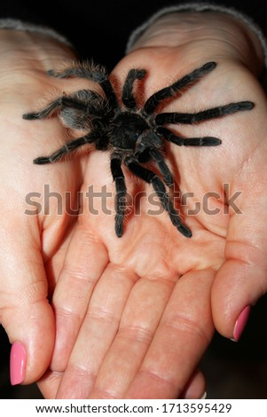 Closeup view of the tarantula spider on woman hands. Birdeater curlyhair tarantula spider Brachypelma albopilosum. Black hairy giant arachnid. Halloween concept.