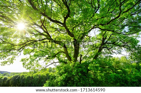 The sun brightly shines through the crooked branches of a majestic green tree Royalty-Free Stock Photo #1713614590