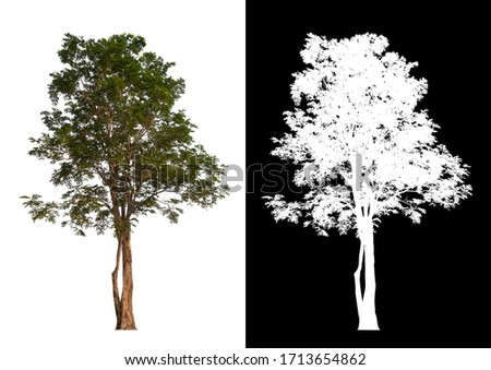 Isolated single tree on white background with clipping path and alpha channel  #1713654862