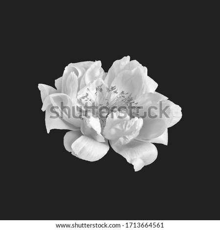 monochrome bright white peony blossom macro on black background,delicate filigree texture