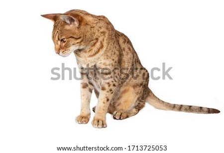 Ocicat beed in photo studio #1713725053