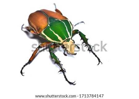 Closeup picture of adult male Giant African Flower Beetle or Goliath beetle Mecynorrhina torquatus ugandensis (MTU), photographed on white background