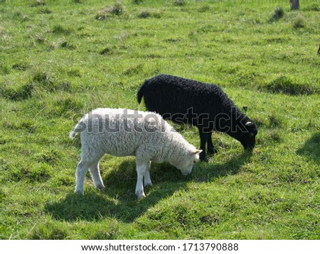 Black and white lamb siblings symbolizing diversity (at Naturcenter Amager at Kalvebod Fælled near Copenhagen) #1713790888