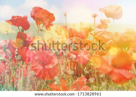 Poppy flowers summer background, field with red flowers over blue sky background. Meadow with beautiful bright red poppy flowers