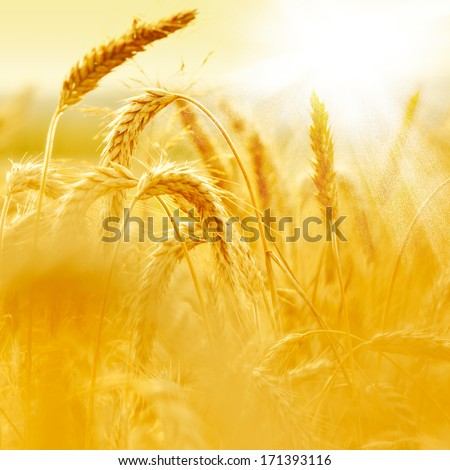 Wheat field #171393116