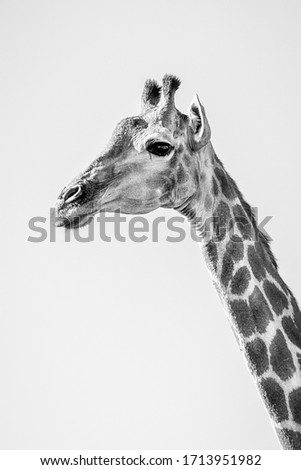 Giraffe Herd in South Africa #1713951982