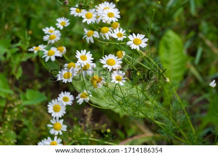 Matricaria is a genus of flowering plants in the chamomile tribe This is a generic name mayweed This is a common cause of natural health in Australia Matricaria occidentalis is native to North America #1714186354