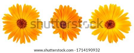 Beautiful blooming yellow marigold flowers on a white background. Calendula officinalis.