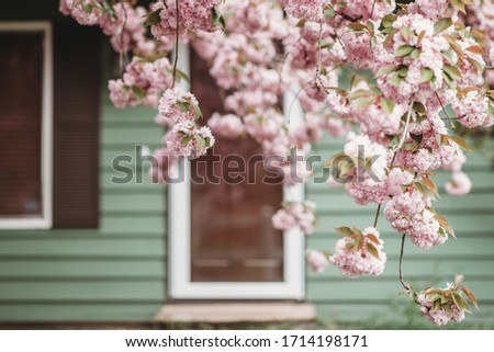 Blossoming pink sakura near the house blurred. Macro close up shot. Beautiful sakura blossom. Tender spring picture. Beautiful pink background.