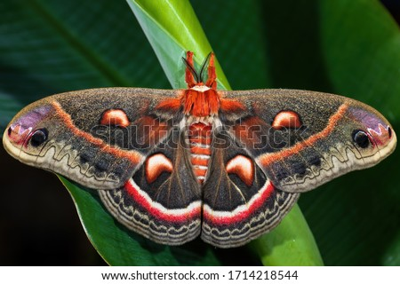 Cecropia Moth - Hyalophora cecropia, beautiful large colored moth from North American forests and woodlands, USA. #1714218544