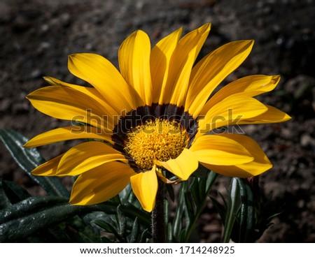 Yellow Gerbera Flower - Macro photography of yellow gerbera flower