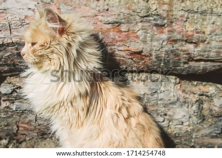 Peach cat looking to the side against the background of pine boards. A dreamy fluffy hunter basks in the sun. Stock photo with place for text.