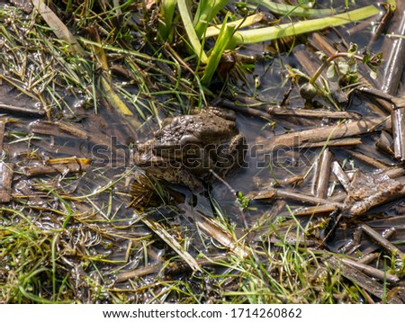 picture with common frogs pairing in a pond, couple of frogs are sitting in the pond  in spring period, detailed photo of two frogs.