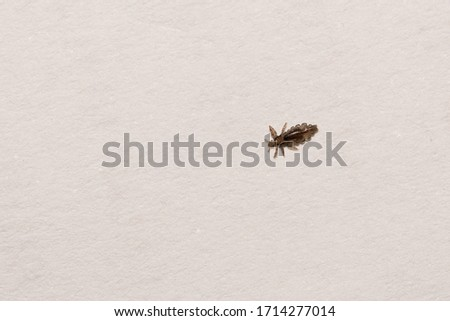 Louse or lice macro on white paper background, louse bite on head kids, lice is vector of diseases such as typhus, chewing lice live among the hairs of children, louse in parasite sucking blood child