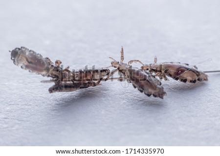 Macro Close Up Pediculus humanus capitis head louse