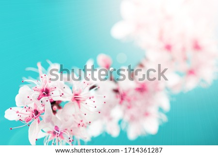 Spring border, spring blossom and April floral nature on blue background. Branches of blossoming apricot macro with soft focus. For easter and spring greeting cards with copy space. Springtime. #1714361287