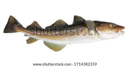 Atlantic cod fresh, Gadus morhua, fish of Greenland #1714382359