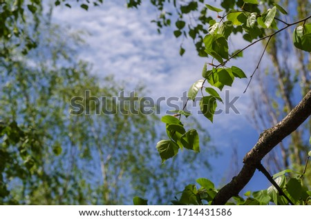 Birch branches with new leaves on a background of blue sky. Spring birch branches in a city park. Close-up. Selective focus. #1714431586