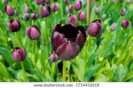 Queen of Night tulip. Black tulips. Tulips background. Dark tulips. Purple tulips. Queen of the Night tulip. Floral backdrop. Blooming tulip. Tulip buds. #1714432618