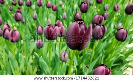 Queen of Night tulip. Black tulips. Tulips background. Dark tulips. Purple tulips. Queen of the Night tulip. Floral backdrop. Blooming tulip. Tulip buds. #1714432621