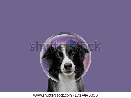 Scottish Border Collie, beautiful picture. Black border collie on a plain background. Portrait of purebred border collie in front of white background. Close-up of Border Collie, 4 years old.
