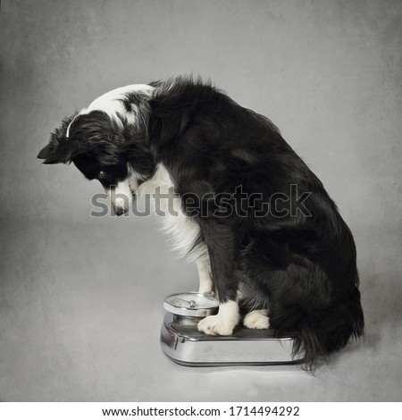 beautiful purebred border collie dog weighing on a bathroom scale on gray background Royalty-Free Stock Photo #1714494292