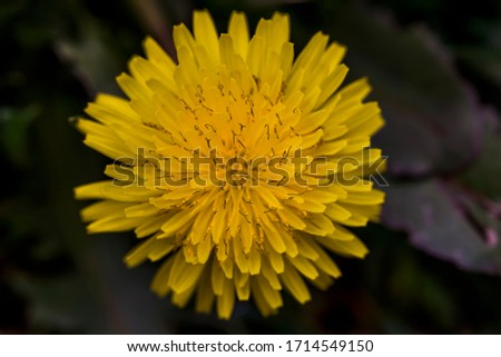 Dandelion macro photo. Yellow dandelion flower. Green dandelion leaves. Dandelions bloom in spring. View from above