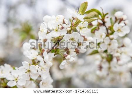 Blooming tree in the garden. Selective focus #1714565113