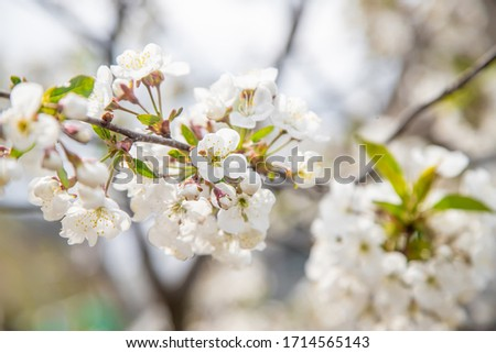 Blooming tree in the garden. Selective focus #1714565143