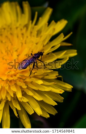 Dandelion macro photo. Winged insect on a dandelion close-up. Yellow dandelion flower. Green leaves. Dandelions bloom in spring.