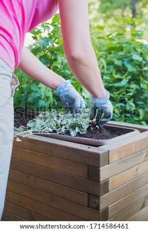 caucasian woman gardener hands in blue gloves replanting flowers in wooden container pot, outdoors planting landscaping, lifestyle vertical close-up stock photo image