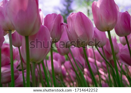 Background with picture of Beautiful sweet pink colored petals of  tulip flower in tulip garden