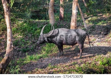 The wild water buffalo (ash-gray) also called Asian buffalo, Asiatic buffalo and wild Asian buffalo, is a large bovine with horns. It is one of the endangered species and a favorite prey for tigers. #1714713070