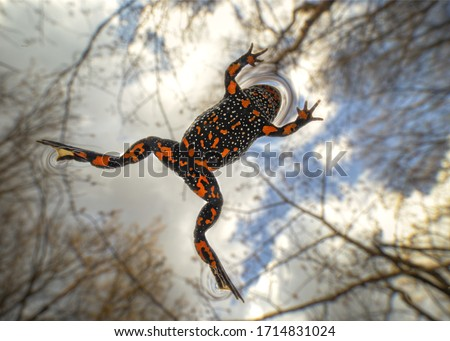 The European fire-bellied toad Bombina bombina) is a fire-bellied toad native to mainland Europe. Other common names used for the European fire-bellied toad include ringing frog, fiery toad, Laowa15mm #1714831024
