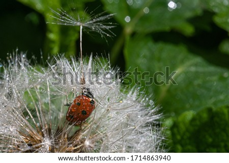 A red ladybug sits on a center of dandelion flower and trying to climb one tytka and fly away on it. Summer morning. Cute and beautiful macro for wallpaper or photo picture. On backdrop a copy space.