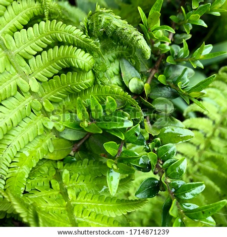 macro Photo of green fern petals. The plant fern blossomed. Fern on the background of green plants. #1714871239