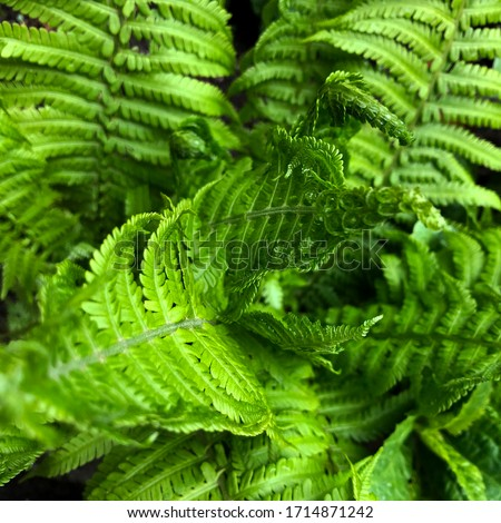 macro Photo of green fern petals. The plant fern blossomed. Fern on the background of green plants. #1714871242