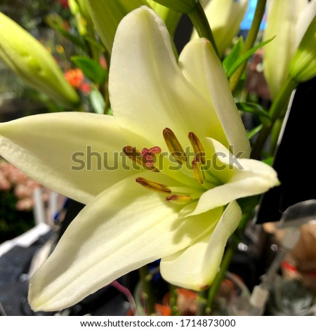 Macro photo lily spring flowers. Stock photo nature plant white lily flower